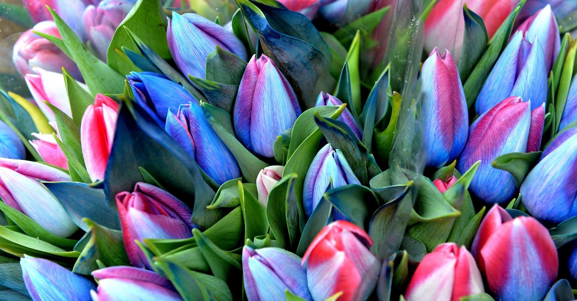 Выращиваем и продаем тюльпаны для Вас!